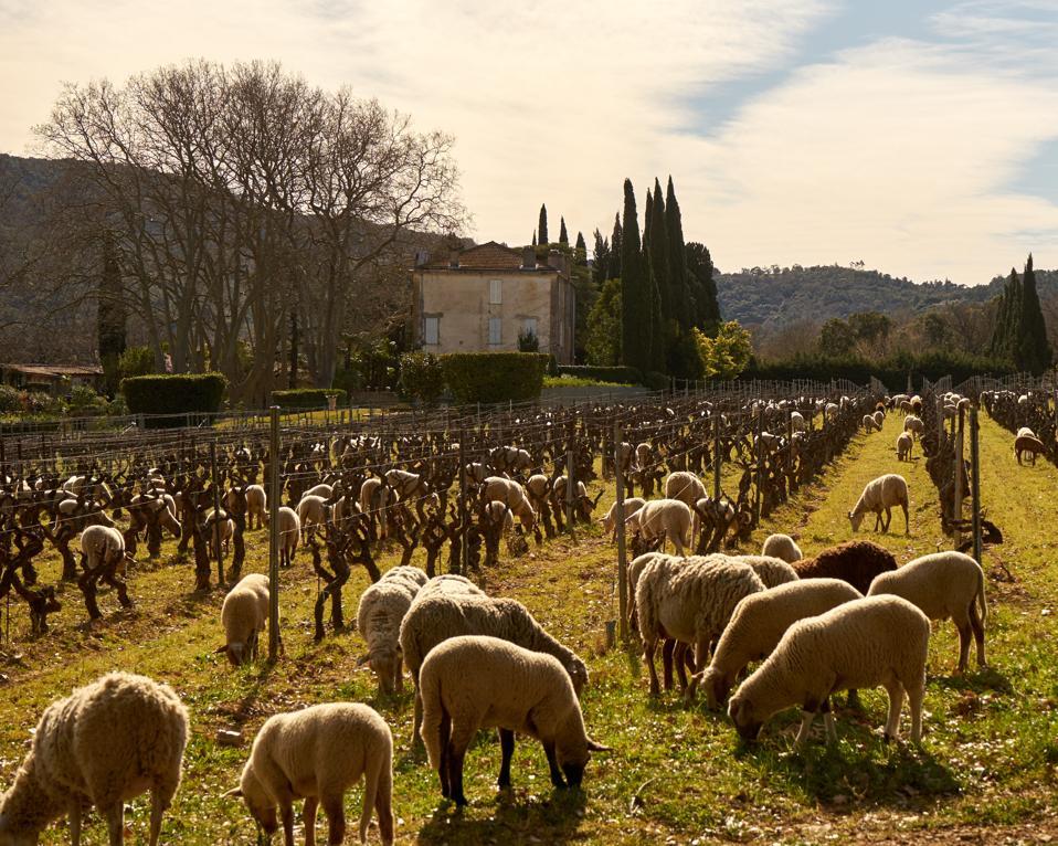 vineyard, sheep, Provence, France
