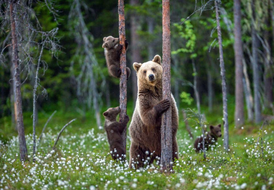 Brown bear and cubs among flowers in Wild Taiga