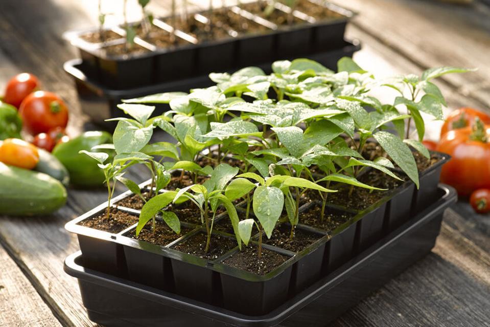 GrowEase Seed Starter Kit growing greens