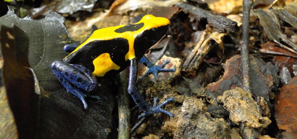 The poison frog studied by Colombian researcher Bibiana Rojas.