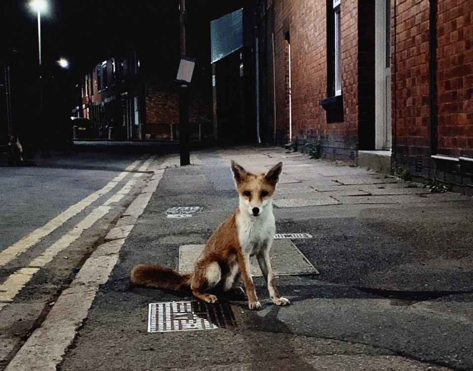Fox looking at camera