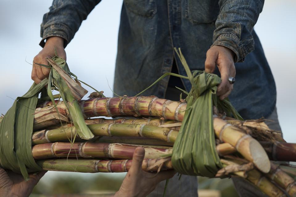 Freshly harvested sugar cane at Ko Hana Distillers on Oahu