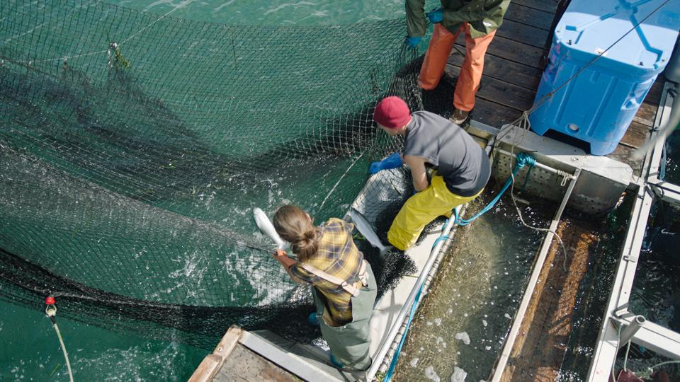salmon fishermen on a boat hauling in a net with pacific salmon for Patagonia provisions seafood brand.
