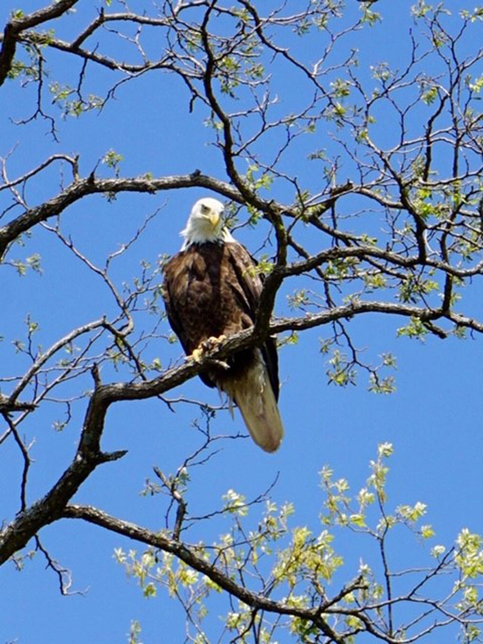 Bald eagle sitting in a tree near Dogwood Canyon in Branson, MO