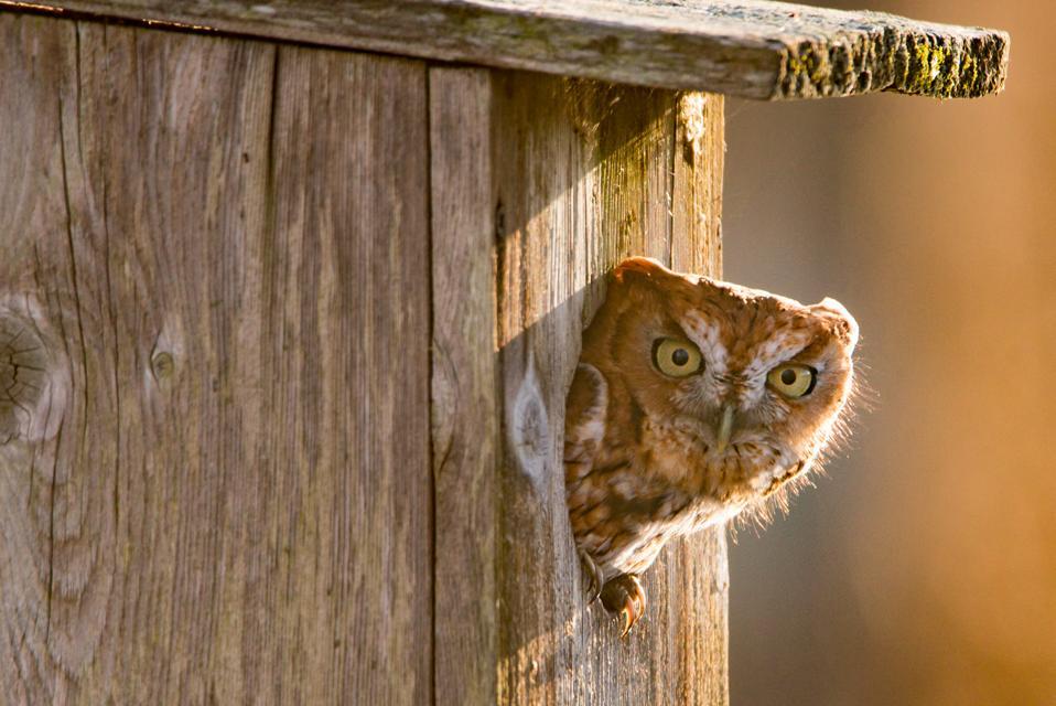 Eastern Screech Owl in an olw box Northern DE