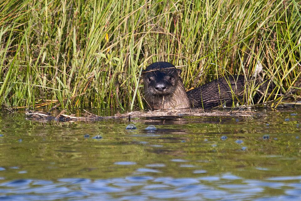 A North American River Otter in Cane Bayou in Louisiana Northshore plays in the water