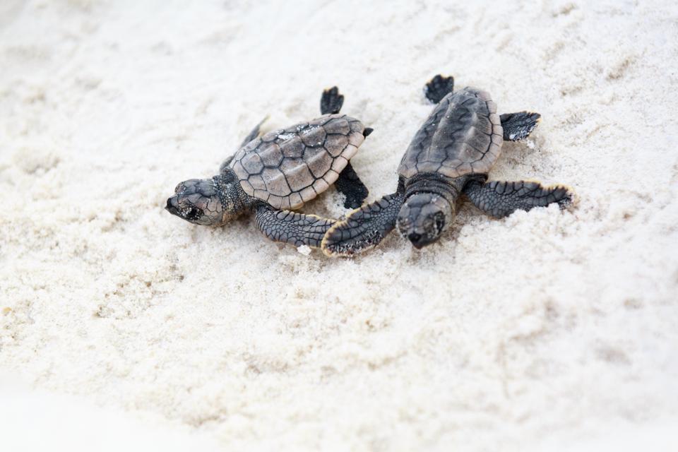 Sea Turtle Hatchlings in the sand as Gulf Shores and Orange Beach, AL