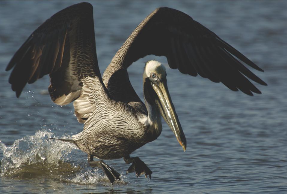Brown Pelican landing in the water to fish