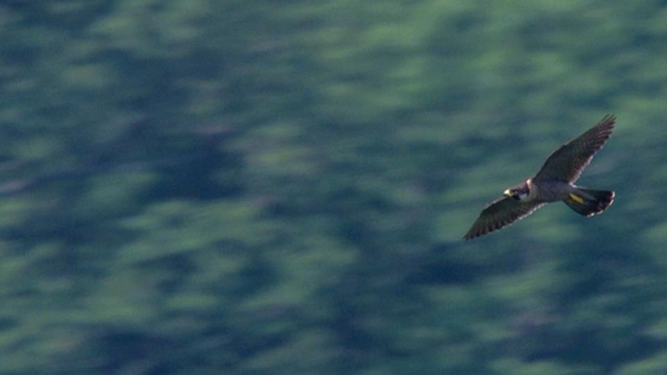 Peregrine Falcon flying in Lake Hartwell Country, SC