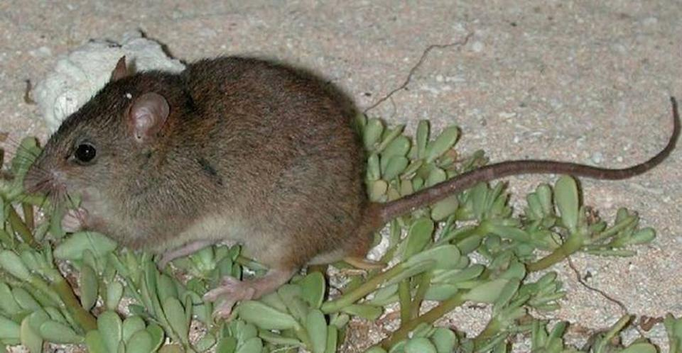 Bramble cay melomys Melomys rubicola. In 2016 declared extinct on Bramble cay, where it had been endemic, and likely also globally extinct, with habitat loss due to climate change being the root cause.
