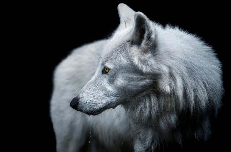 Artic Wolf close-up