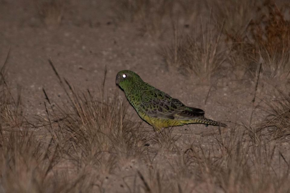 Australian-Night-Parrot-Nick-Leseberg-UQ