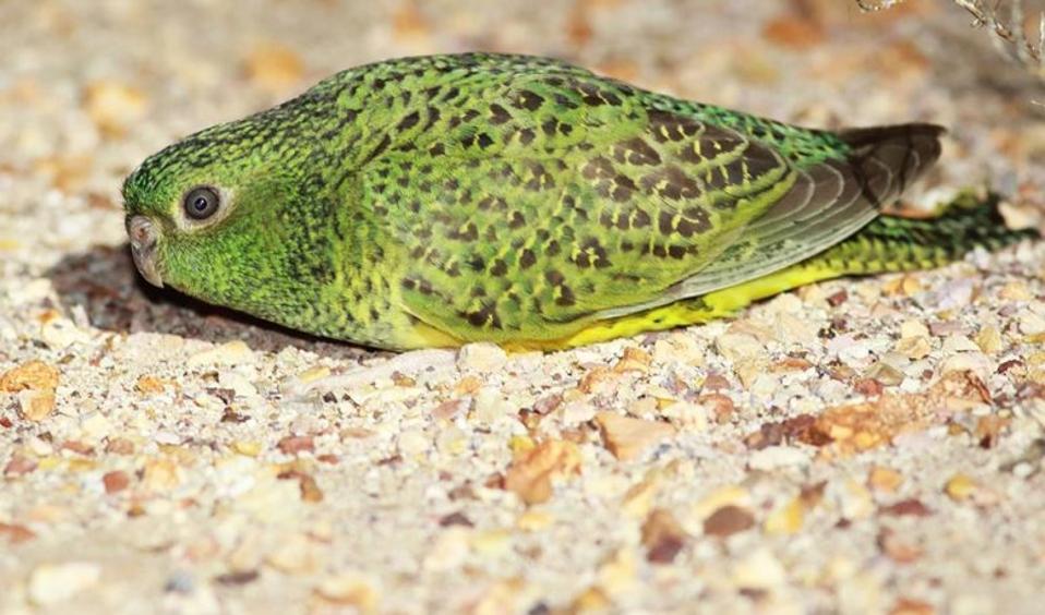 Night-Parrot-Steve-Murphy-Charles-Darwin-University