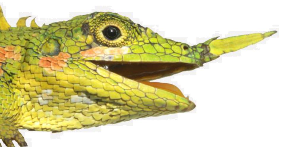 Color photo of a green lizard's face on a white background.