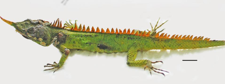 Color photo of a green lizard with an orange horn and spikes.