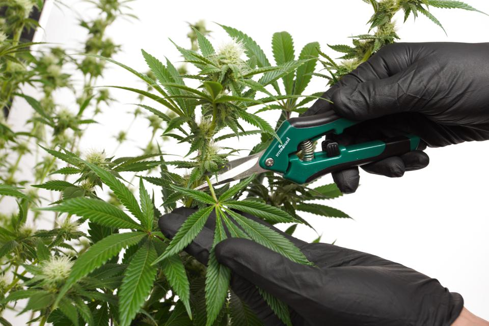 trimming cannabis flowers