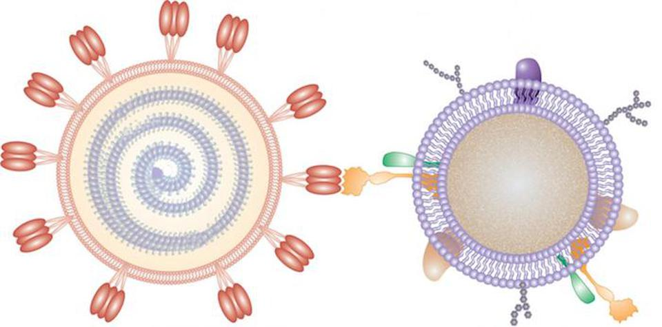 In this illustration, a nanosponge coated with a human cell membrane acts as a decoy to prevent a virus from entering cells
