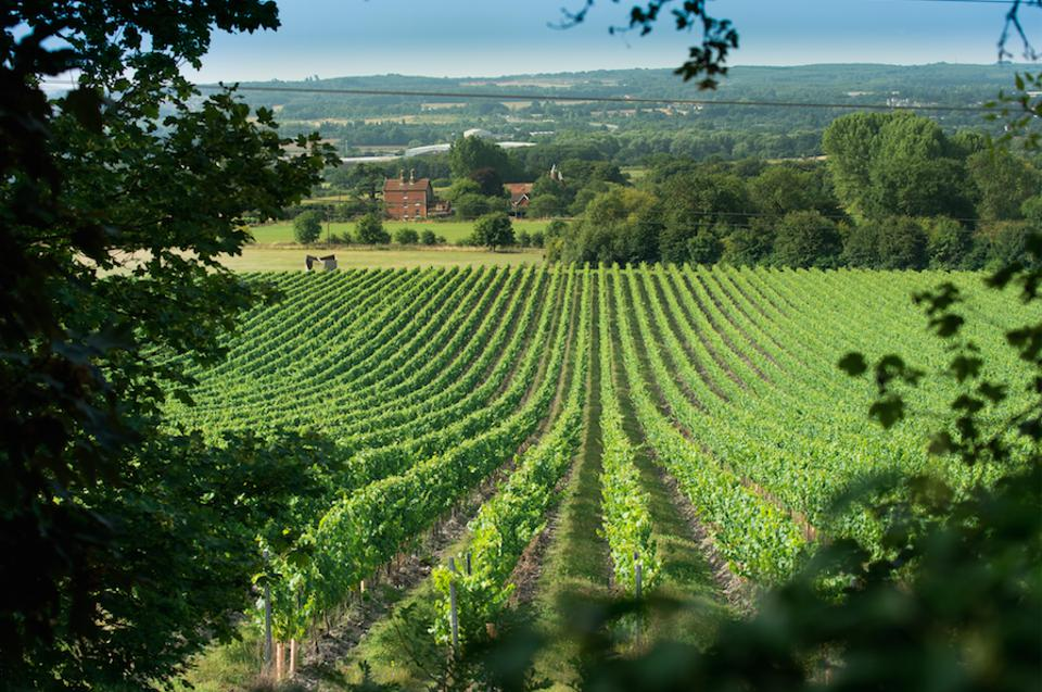 The vineyards of prominent English winery, Chapel Down