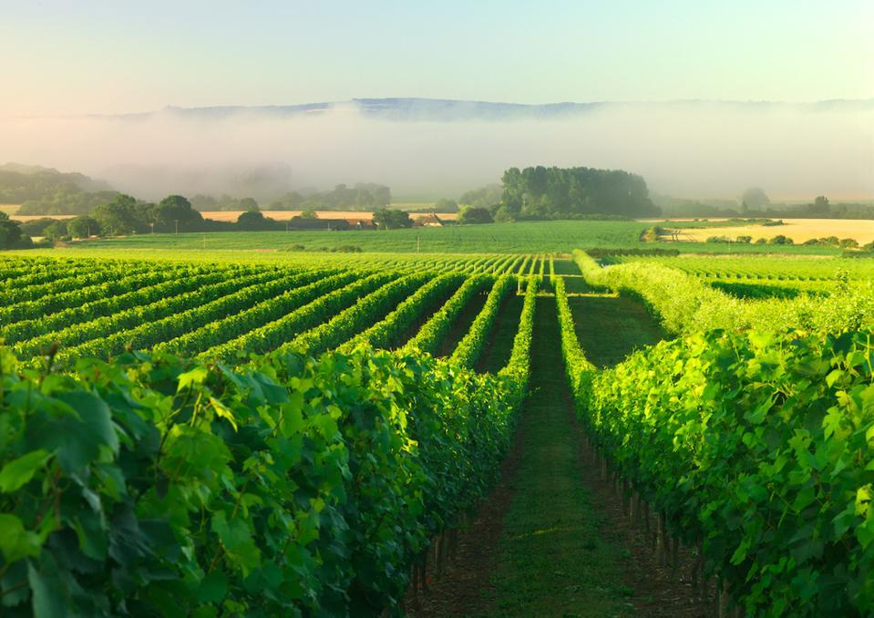 The vineyards of English sparkling wine producer Nyetimber.