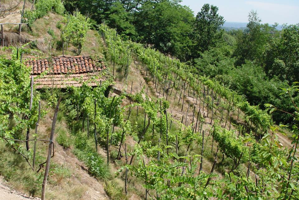 Vineyards at Le Piane estate, Boca, Alto Piemonte