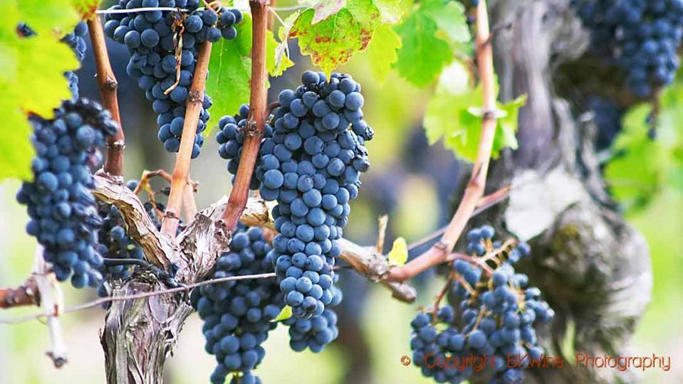 Cabernet Sauvignon grapes on the vine in Bordeaux