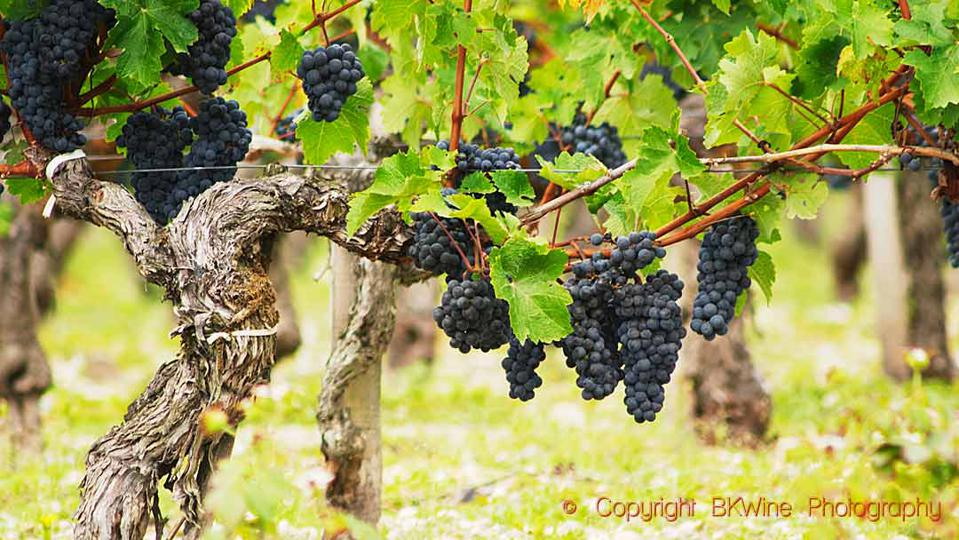 An old vine with Cabernet Sauvignon in the Medoc, Bordeaux