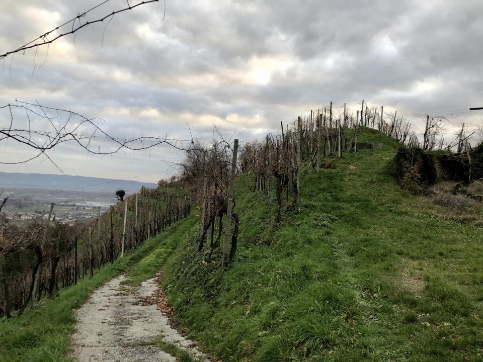 A steep hill with Glera grapevines in a classic Prosecco zone in Veneto, Italy