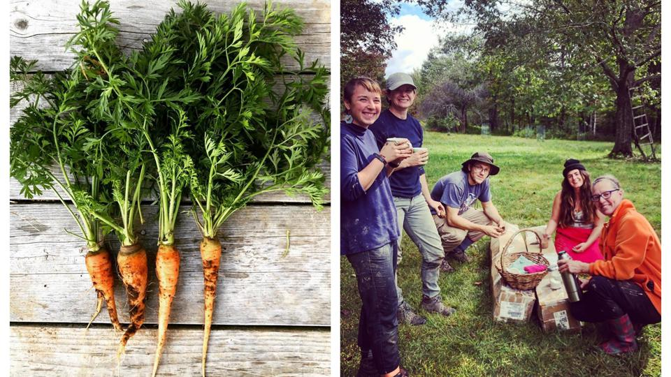 Organic carrotts, left. Group of volunteers on Veggies to Table farm in Maine.