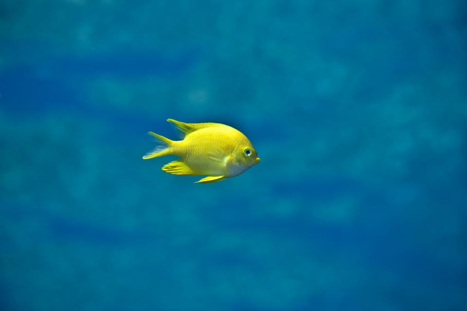 The Little Yellow Fish image featured in 'Chris Leidy: The Coral Triangle' by Assouline.