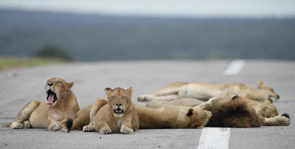 Pride of lions on Singita's airstrip in South Africa during the pandemic.