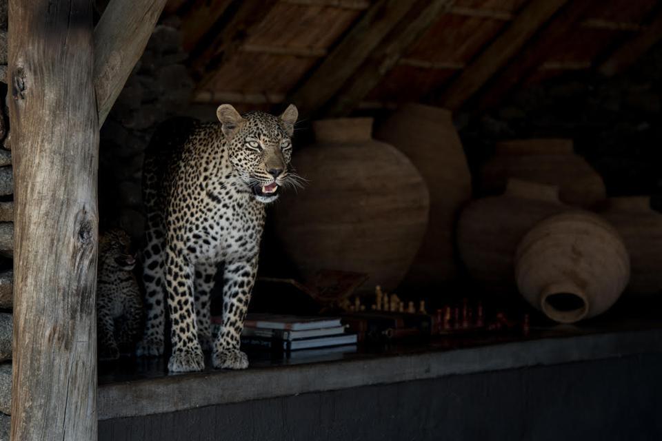 Pandemic photography: Leopard at Singita Sabi Sand's airstrip lounge during the pandemic