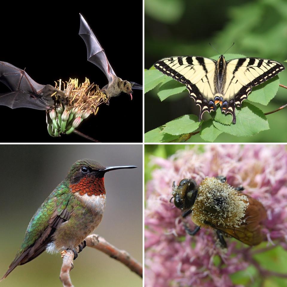 Bats, butterflies, hummingbirds and bees pollinating flowers.