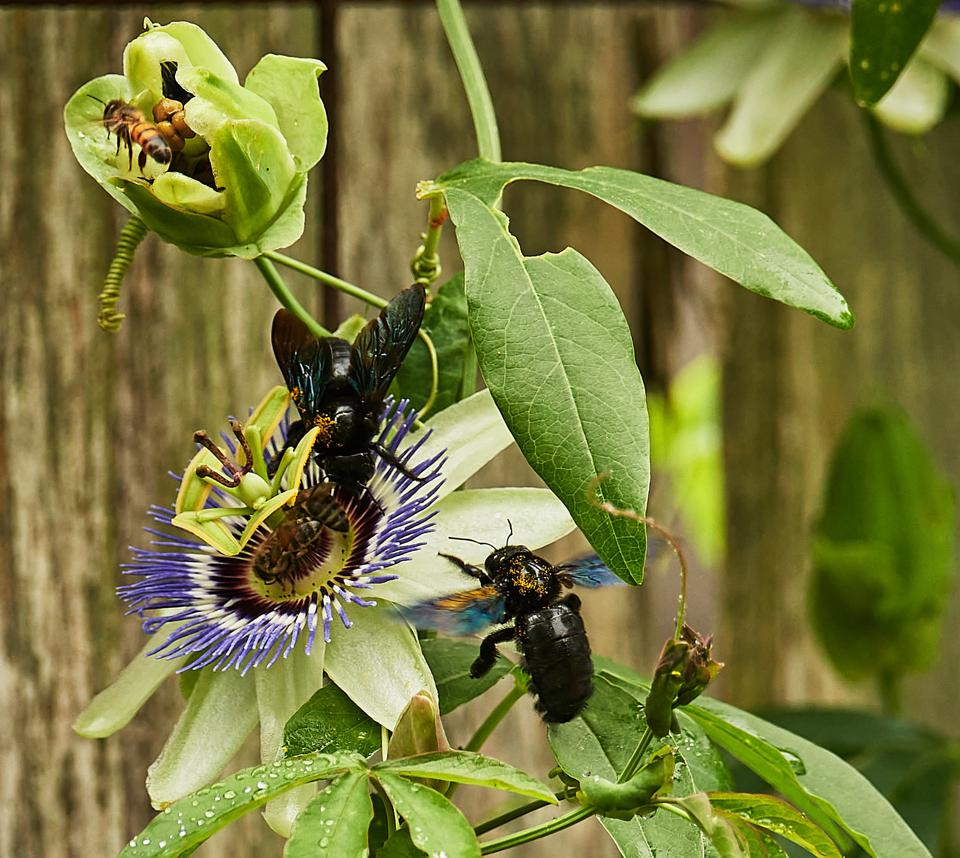 A passion flower is visited by carpenter bees and honey bees.