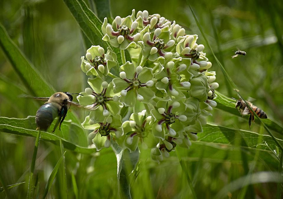 Honey bees and carpenter bees flock to an antelopes horn milkweed