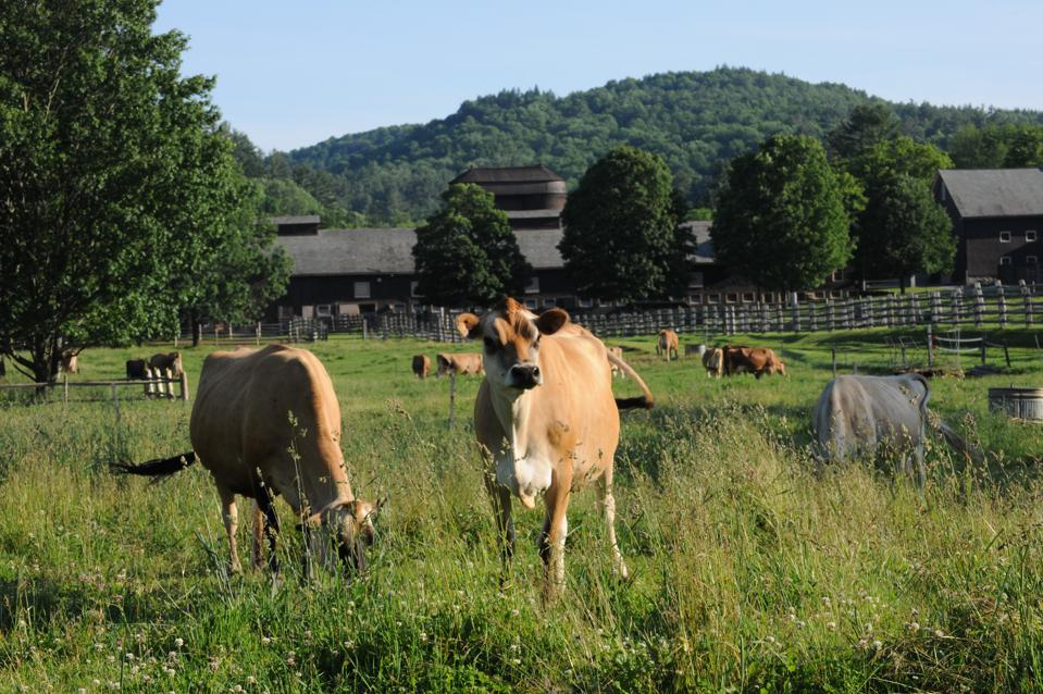 Cows in pasture at Billings Farm & Museum, Vermont