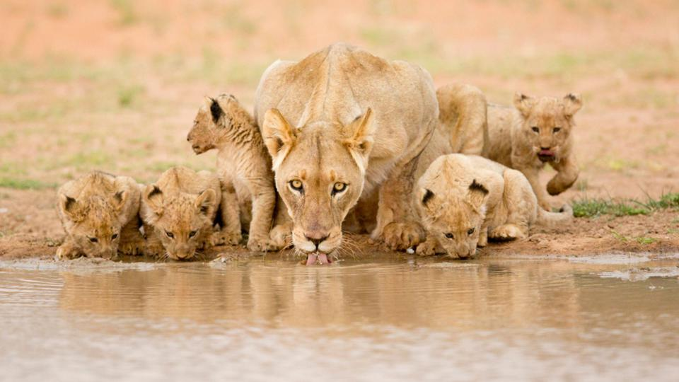 Conservation Africa News - A lioness and her cubs in South Africa's Tswalu Kalahari reserve.
