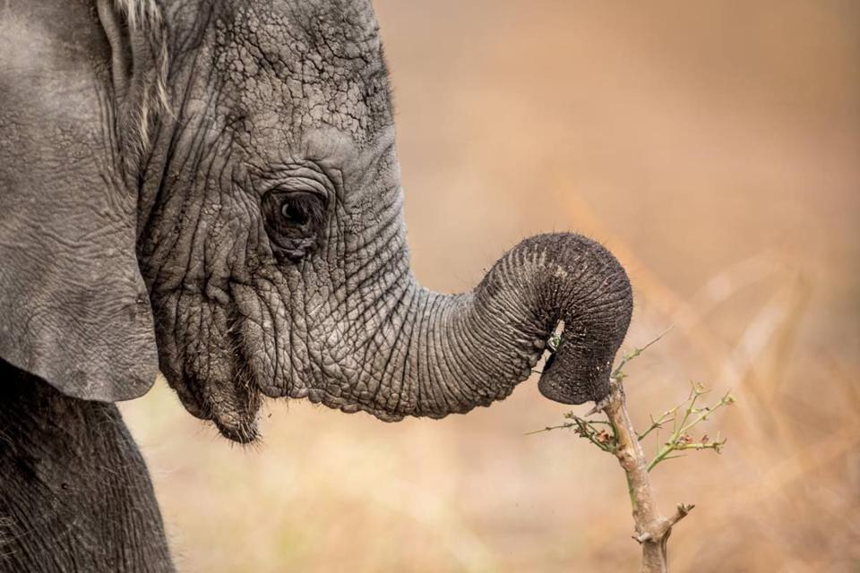 Conservation Africa News - an elephant in South Africa's Sabi Sands reserve