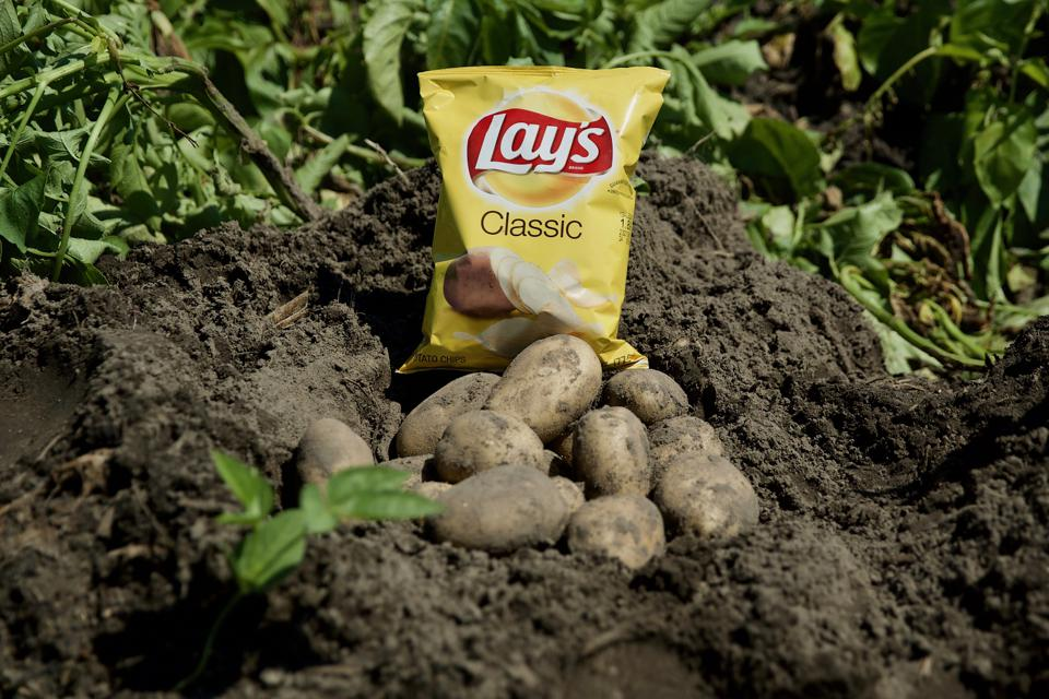 Potatoes that are sustainably produced and used in PepsiCo's Lays chips.