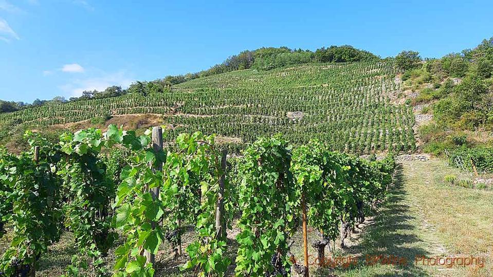 Domaine Jolivet vineyards in Saint Joseph in the northern Rhône Valley