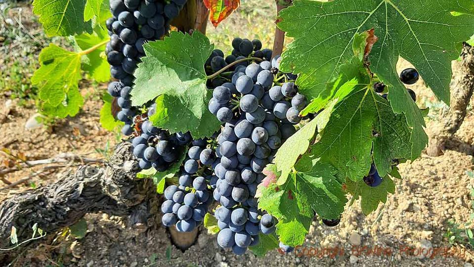 Syrah grapes in the vineyard of Domaine Jolivet, Saint Joseph