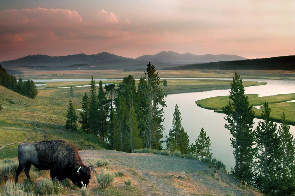 Bison graze in Yellowstone National Park.