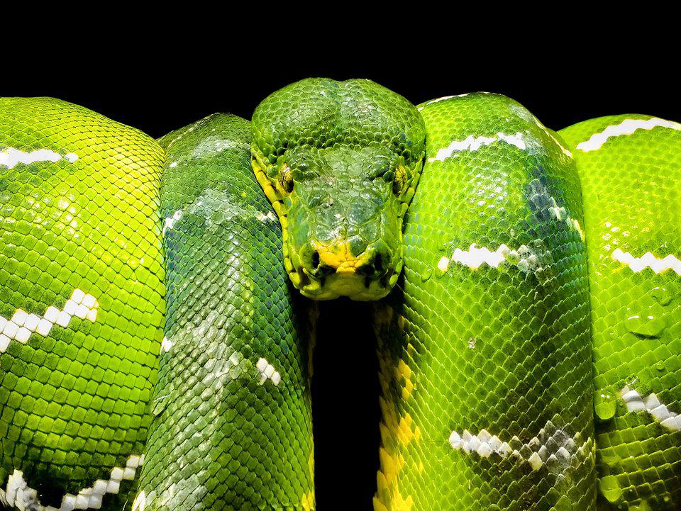 close up of green viper