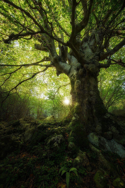 Millennial tree in Spain