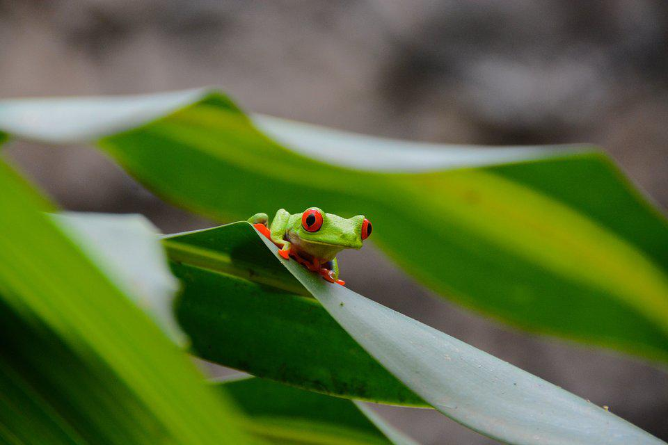 red eyed tree frog on big leaves