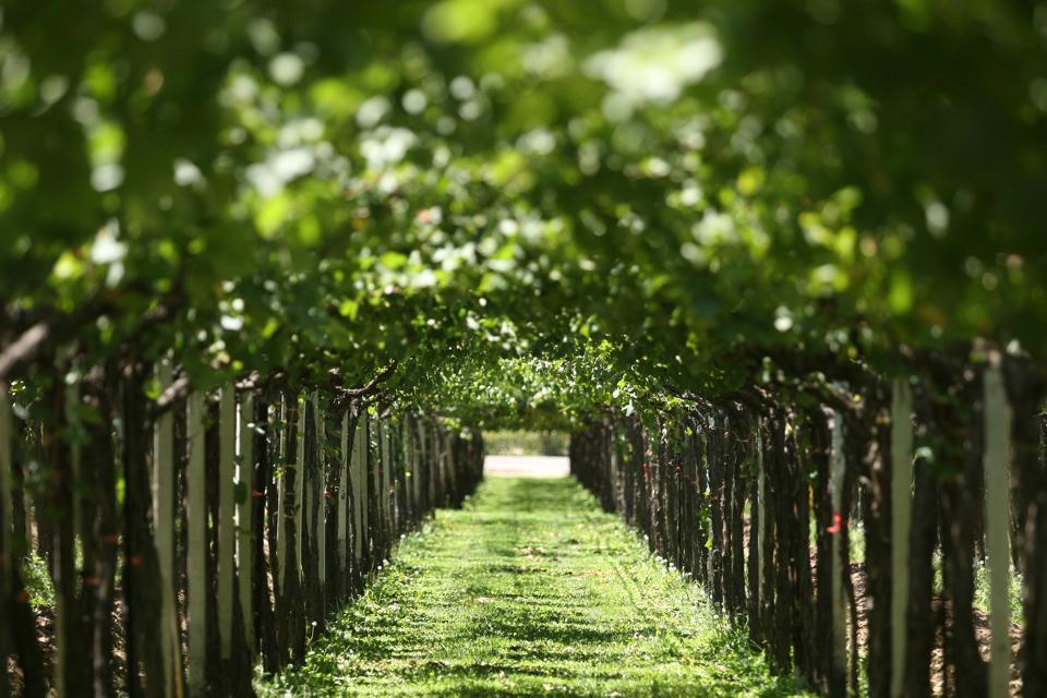 green vineyards, natural vineyards
