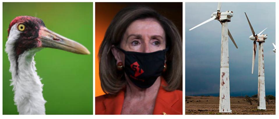 A whooping crane, Nancy Pelosi, and rusting wind turbines