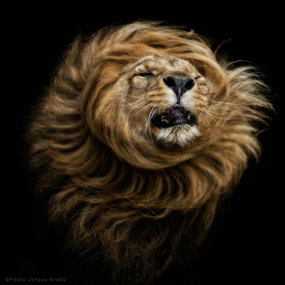 Conservation Africa News - head of male lion