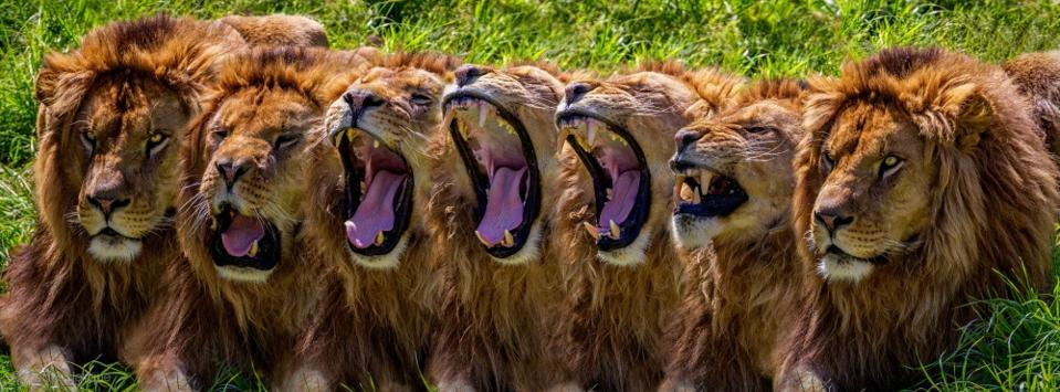 a line of  hungry lions