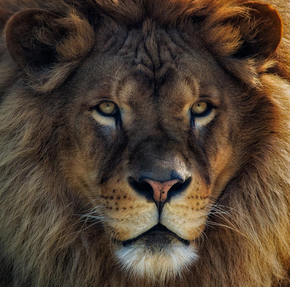 close up of a lion's face