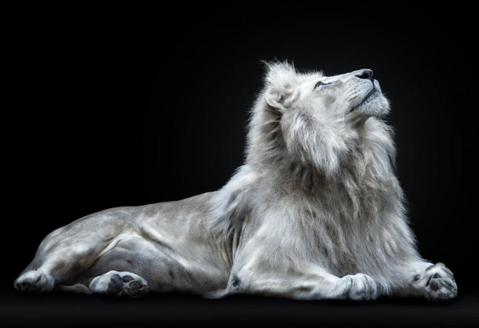 Conservation Africa News - a rare white lion